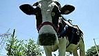 Lấy khí thải nhà kính từ trâu bò
