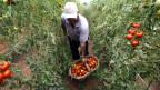 Produção de tomate em Salto, SP. Reuters