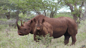 черный носорог в Намибии