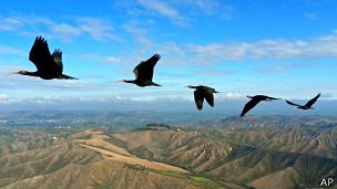 Ibis volando en formación