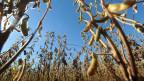 Plantação de soja no Paraguai (AFP)