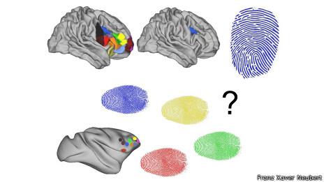 Imagen gráfica que compara un cerebro humano y otro de mono
