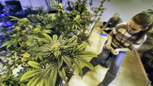 Cultivo de marihuana en Colorado