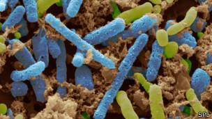 Bacteria del vinagre