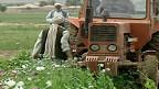 Ganja di Afghanistan Capai Tingkat Tertinggi