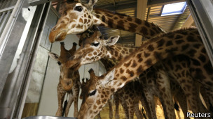 Жирафы в Парижском зоопакре