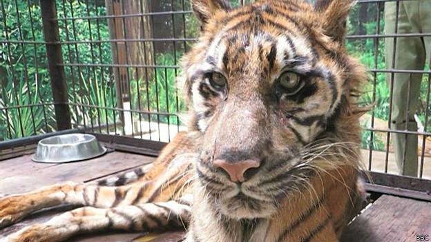 Tigresa em Surabaya (BBC)