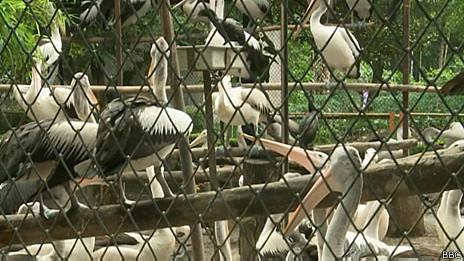 Pelicanos (BBC)