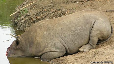 Rinoceronte muerto al lado de lago