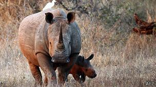 Rinoceronte con cría