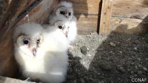 Белые совы в питомнике