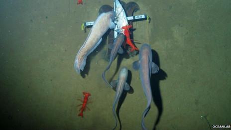 Peces de las profundidades