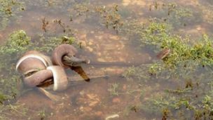 Cobra engole crocodilo | Crédito: TNT Corlis