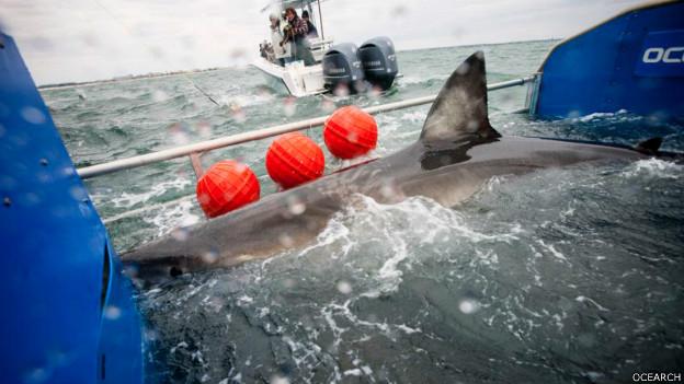 Tiburón Lydia en la plataforma de Ocearch