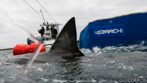 Aleta de tiburón sobresale de la plataforma de Ocearch