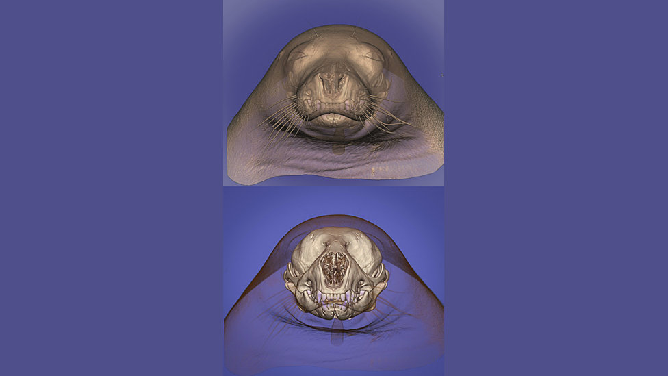 Томография морды тюленя