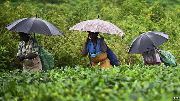 चाय उत्पादन