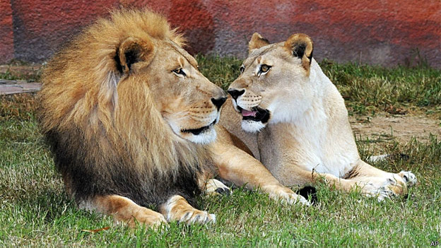 Leões em um zoológico americano (Arquivo/AFP)