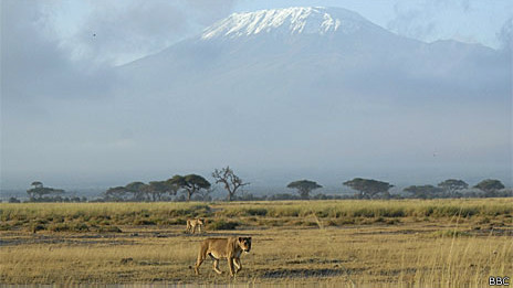 Leoas caminham no Parque Nacional Amboseli, Quênia, no leste da África (BBC)