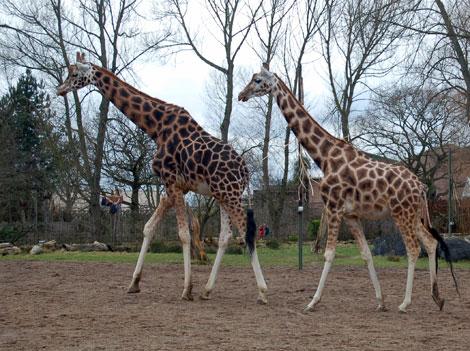 Three giraffes in a zoo