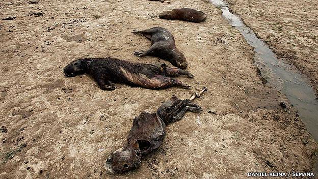 Chigüiros muertos en los llanos de Casanare, Colombia