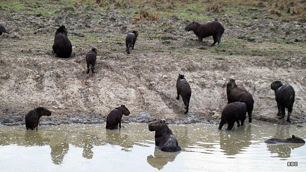 Un grupo de chigüiros en el agua en Paz de Ariporo, Casanare
