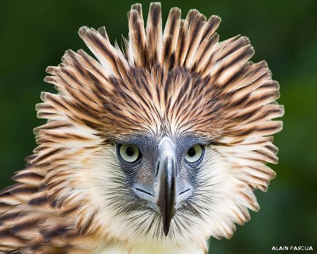 Águila de Filipinas