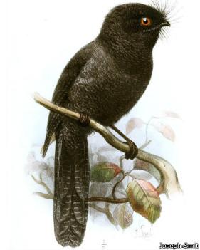 Egotelo de Nueva Caledonia