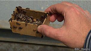escarabajos derméstidos en el OsteoPrepLab del Smithsonian
