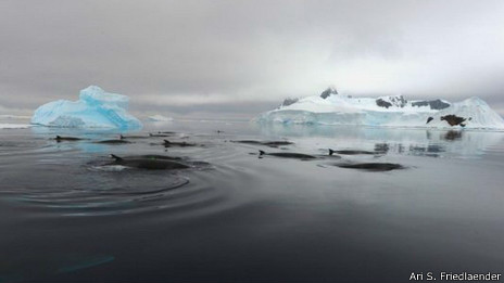 Ballenas de minke