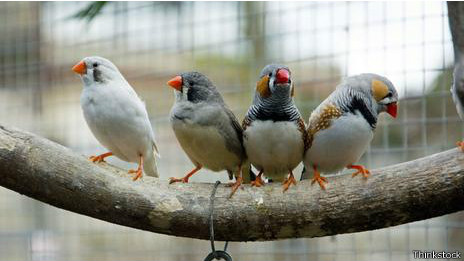 Pájaros diamante mandarín