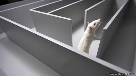 Rata en un laberinto