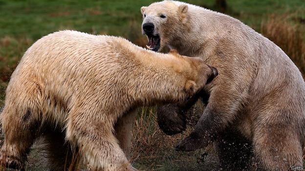Walker y Arktos, osos polares