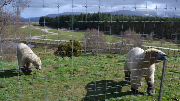 Osos polares en la reserva de Highland