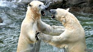 Oso polar Arktos