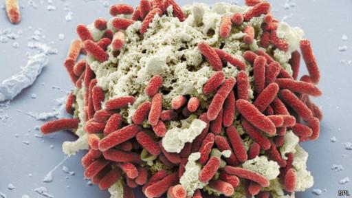 Bactéria E.coli (SPL)