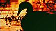 Um cisne no pôr-do-sol da Inglaterra (Andy Parker)
