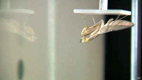 Estudio sobre mantis