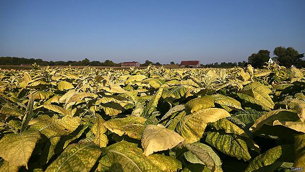 Plantación de tabaco en Maryland, EE.UU.