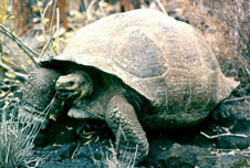 A tortoise on the Galapagos islands