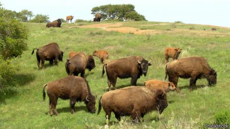 Búfalos de Santa Catalina