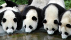 Panda Sichuan