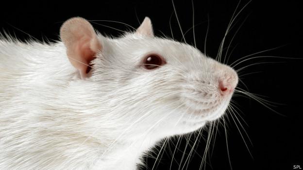 Rata de laboratorio