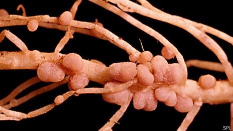 Nodulos en raiz de una planta