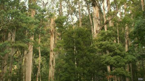 Bosque de Tasmania