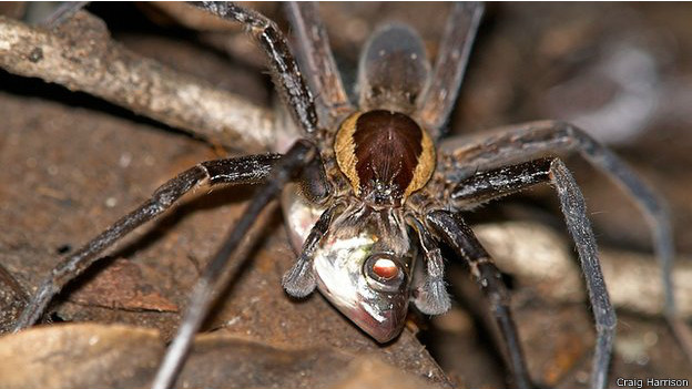 Araña pescadora