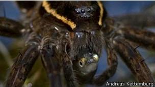 Araña Dolomedes triton