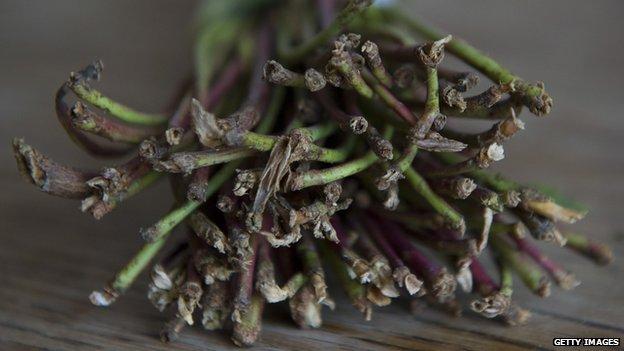 Plantas de khat