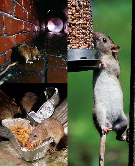 Ratas en la ciudad