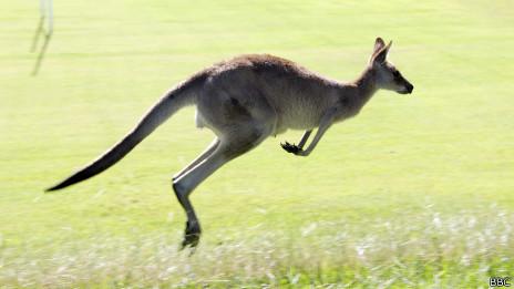 Canguro saltando